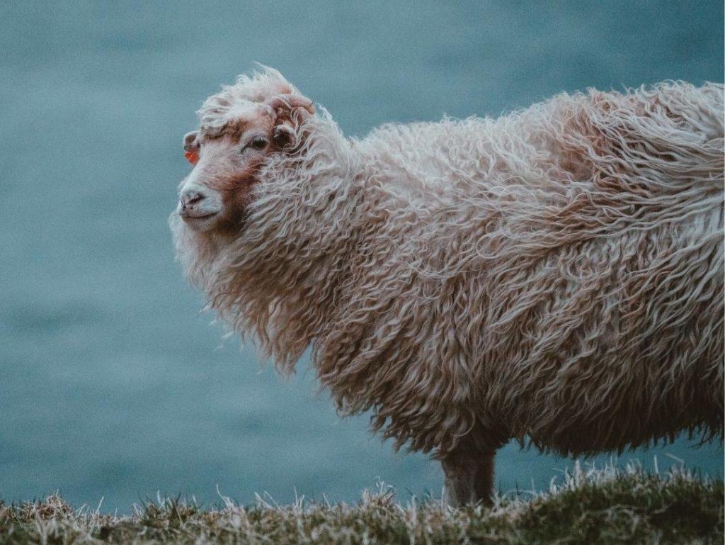 chemise en laine 100% merinos Wolbe mouton