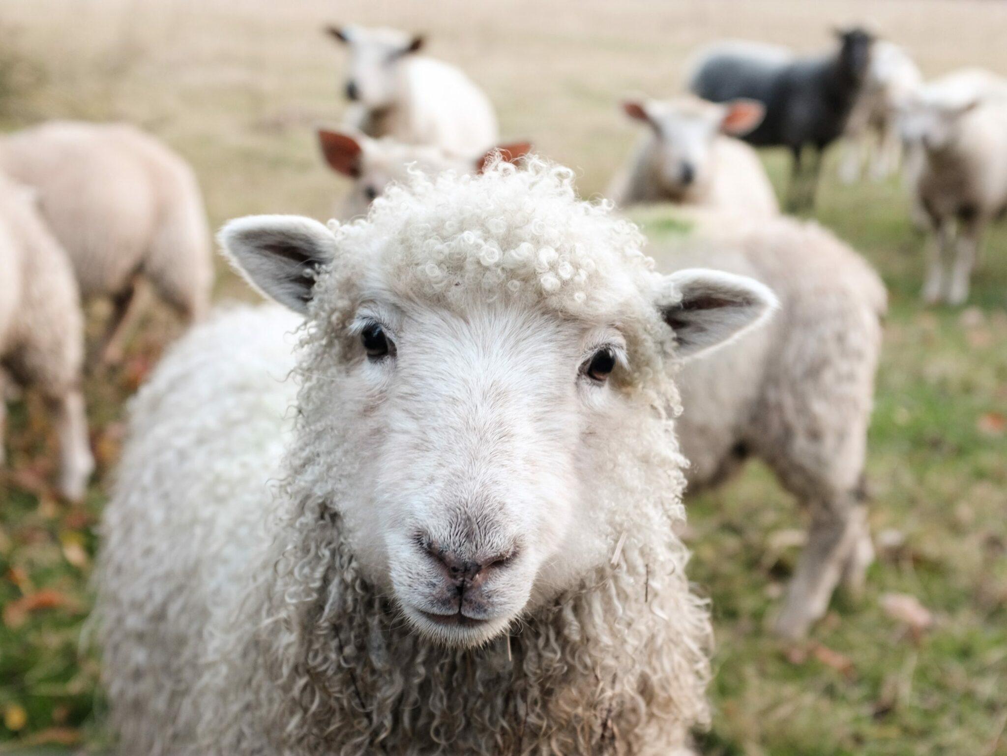 mouton merino eco responsable